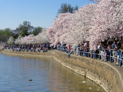 washington-dc-events-washington-mall-crowds-and-cherry-blossoms-full